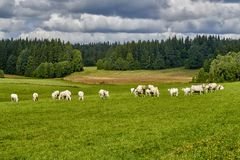 Cows grazing on a green field Royalty Free Stock Photography