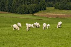 Cows grazing on a green field Stock Images
