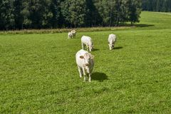 Cows grazing on a green field Stock Photography