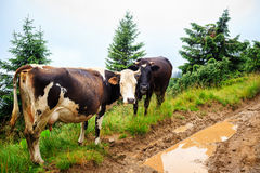 Cows grazing on the green hill of Carpathian mountains, Ukraine. Stock Photography