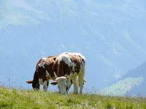 Cows grazing on a green hill royalty free stock photography