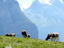 Cows grazing on a green hill stock photo