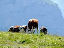 Cows grazing on a green hill royalty free stock images