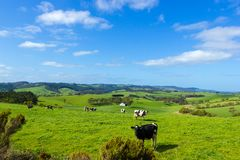 cows grazing on a green hill, on a sunny day stock photography