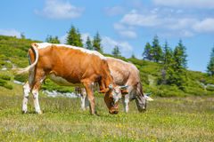 Cows. Grazing on a green meadow stock photography