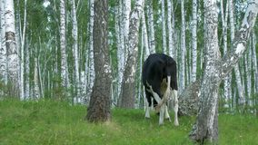Cows grazing on a green meadow. Cow in forest. Cow in the forest eating grass Royalty Free Stock Photos
