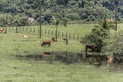 Cows grazing on green meadow. Floripa, Brazil. January, 2018. Cows grazing on green meadow with a pond and some reflection during the summer Royalty Free Stock Images