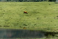 Cows grazing on green meadow. Floripa, Brazil. January, 2018. Cows grazing on green meadow with a pond and some reflection during the summer Royalty Free Stock Photos