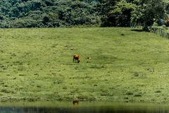 Cows grazing on green meadow. Floripa, Brazil. January, 2018. Cows grazing on green meadow with a pond and some reflection during the summer Stock Photo