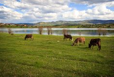 Cows grazing in a green meadow royalty free stock photos