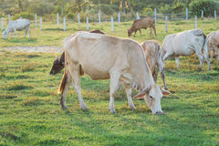 Cows grazing in the green meadow Stock Images