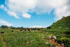 Cows grazing on green meadow in mountains. Cattle on a mountain pasture. Cow in pasture. Mountain meadow, summer landscape Royalty Free Stock Images