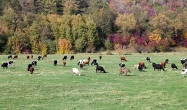 Cows grazing in green meadow Stock Photo