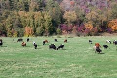 Cows grazing in green meadow Royalty Free Stock Image