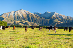 Cows grazing on a green meadow Royalty Free Stock Photos