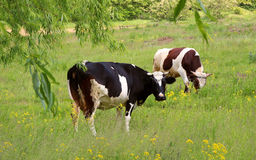 Cows grazing  in the green meadow. Stock Photo