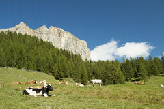 Cows in transhumance Royalty Free Stock Image