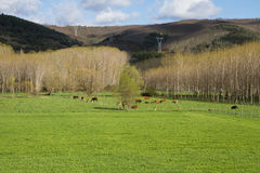 Cows grazing on green meadow Royalty Free Stock Photos