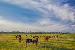 Cows grazing in green meadow Royalty Free Stock Photo