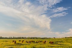 Cows grazing in green meadow Royalty Free Stock Photos
