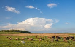 Cows grazing in green meadow. Royalty Free Stock Photo