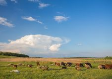 Cows grazing in green meadow. Stock Photos