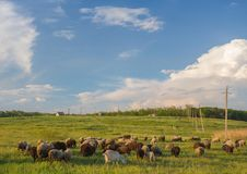 Cows grazing in green meadow. Royalty Free Stock Photography