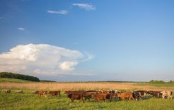 Cows grazing in green meadow. Stock Photography