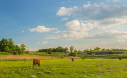 Cows grazing in green meadow. Stock Photo