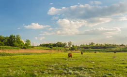 Cows grazing in green meadow. Royalty Free Stock Images