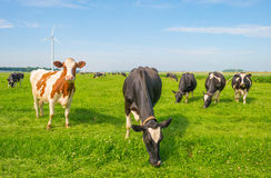 Cows grazing in a green meadow in summer Stock Images