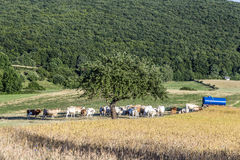 Cows grazing at the green meadow Stock Images