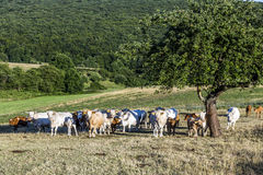 Cows grazing at the green meadow Stock Image