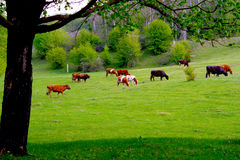 Cows grazing on a green pasture. The cows browse in field Cows on a meadow Royalty Free Stock Photo