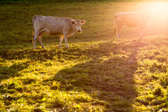 Cows grazing on a green pasture. Cows grazing on a lovely green pasture royalty free stock photos