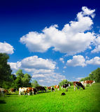 Cows grazing Stock Photos