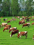 Cows grazing Stock Photo