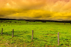 Cows Grazing on Green Pasture in Belgium. Royalty Free Stock Image