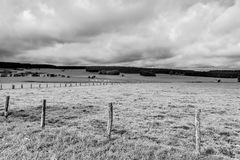 Cows Grazing on Green Pasture in Belgium. Cows Grazing on Green Pasture in the Ardennes, Belgium. White cows in flanders in belgium on rainy day. Black and royalty free stock photography