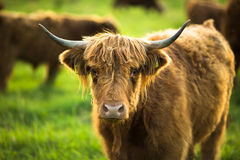 Cows grazing on a green pasture Stock Images