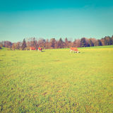 Cows Royalty Free Stock Images