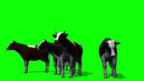 Cows grazing - green screen stock video