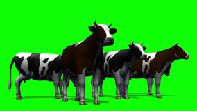 Cows grazing - green screen stock video footage