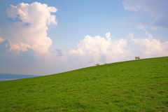 Cows grazing on a green slope. Cows grazing on a slope, under a cloudy sky Stock Image