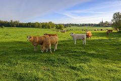 Cows grazing on a green spring meadow, nature Royalty Free Stock Photos