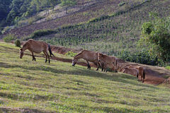 Cows grazing on a green summer field Royalty Free Stock Images