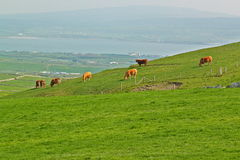 Cows grazing on a green summer meadow. Cows grazing in a Irish green meadow royalty free stock photo