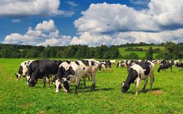 Cows grazing on a green summer meadow in Hungary Royalty Free Stock Photo