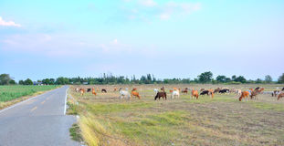 Cows grazing. Stock Images