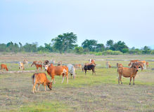Cows grazing. Royalty Free Stock Photos